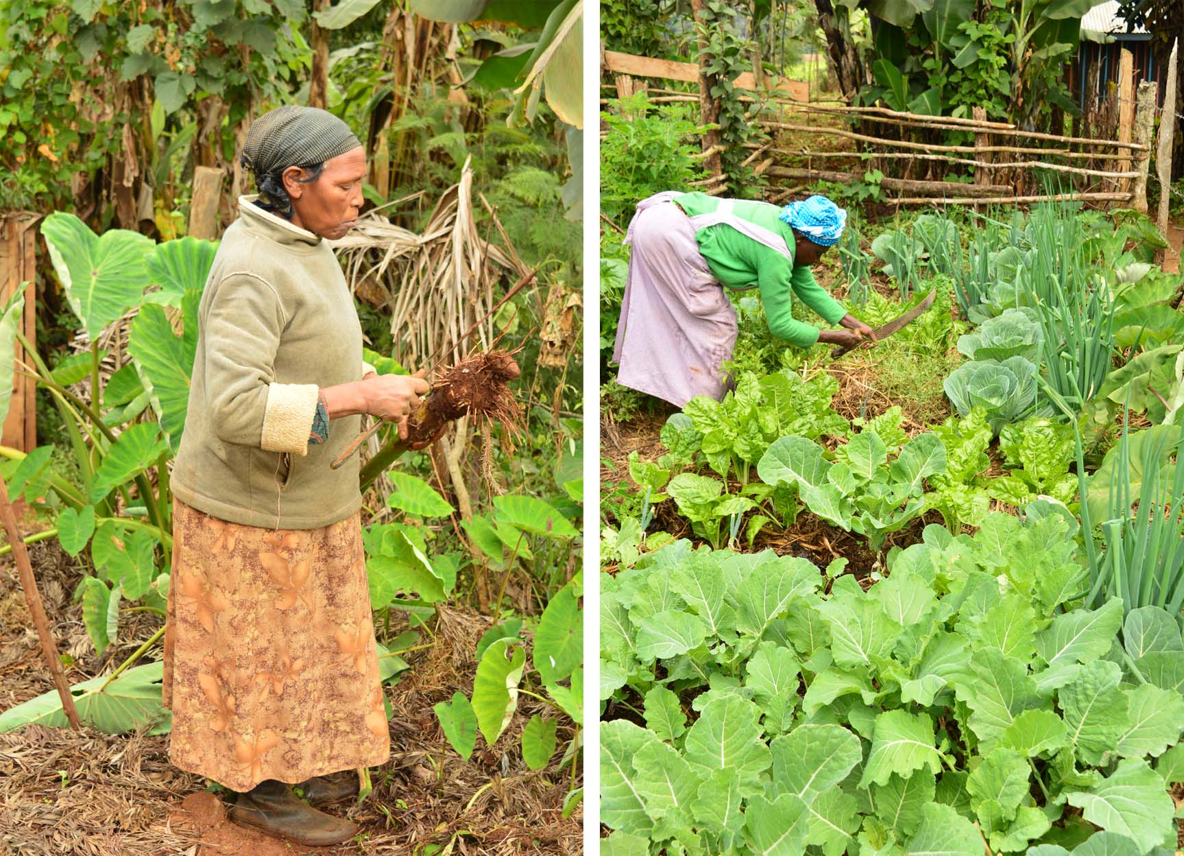 One of the women harvests some arrow roots from her farm, while another tends to her kitchen garden