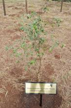 The African Olive tree planted in honor of Finley